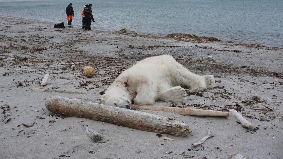 """Der Eisbär hatte ein Crew-Mitglied der """"MS Bremen"""" angegriffen und wurde daraufhin erschossen."""