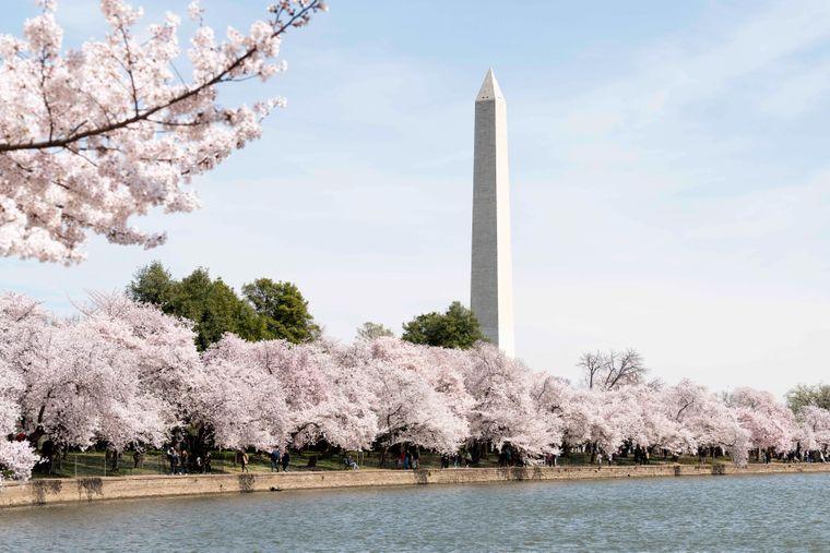 Dort blühen viele Kirschbäume.