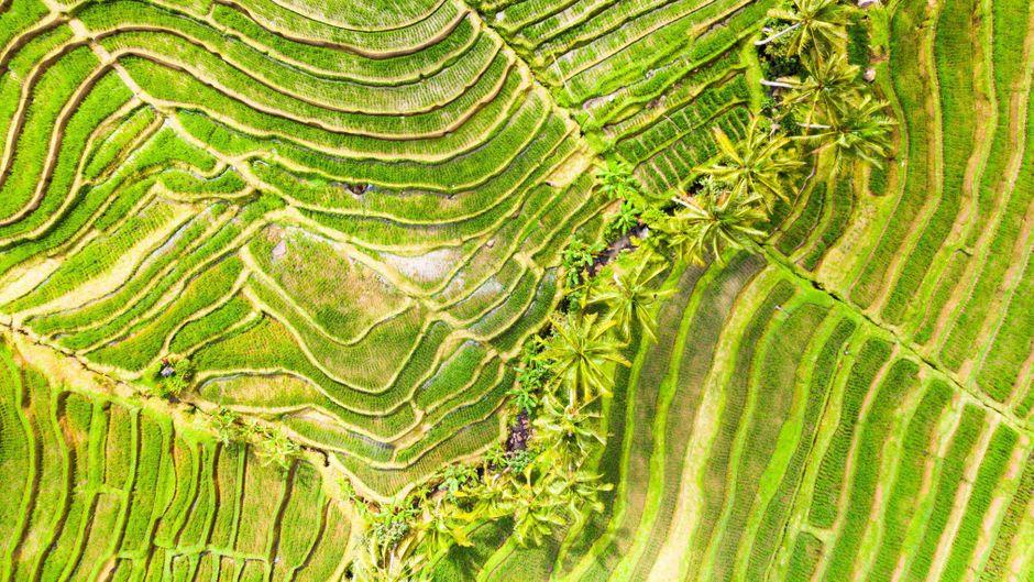 Reisterrassen auf Bali.