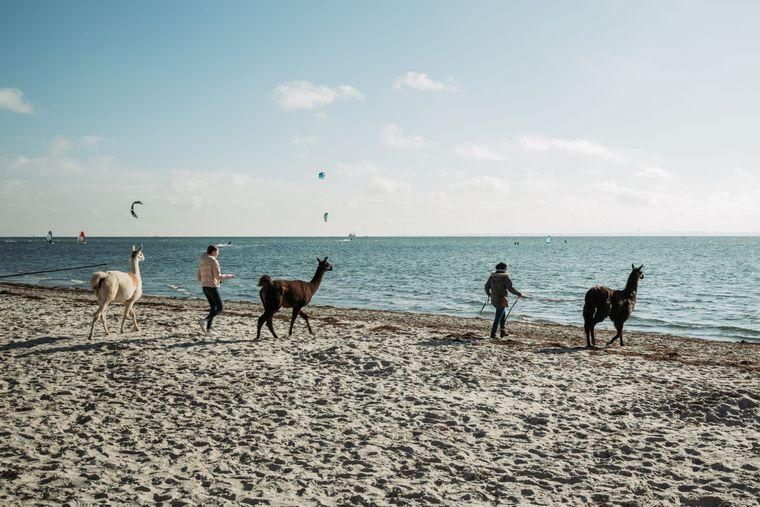 Lama-Wanderung am Strand in Pelzerhaken.