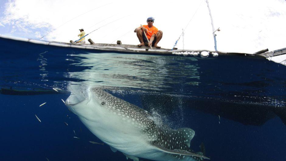 Direkte Befischung und Touristenmassen: Der Walhai wird vom Menschen bedroht.