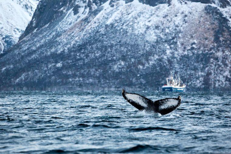 In Norwegen können aufmerksame Beobachter nicht selten einen Wal sichten.