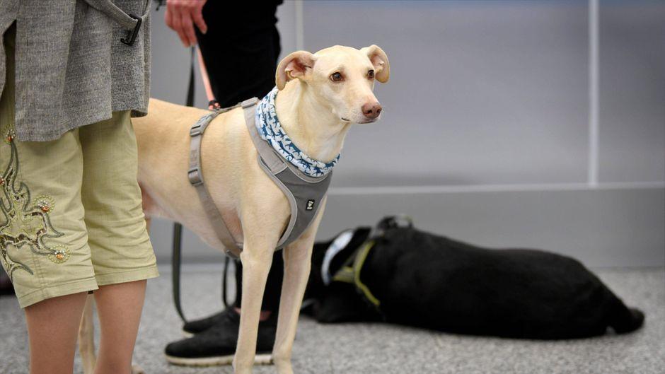 Als Corona-Spürhunde ausgebildete Tiere am Flughafen in Helsinki.