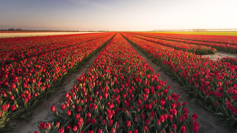 In Flevoland in den Niederlanden verwandeln sich die Felder zur Tulpenblütezeit in wahre Gemälde.