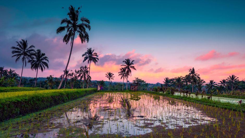Reisefelder auf Bali vor dem Sonnenuntergang.