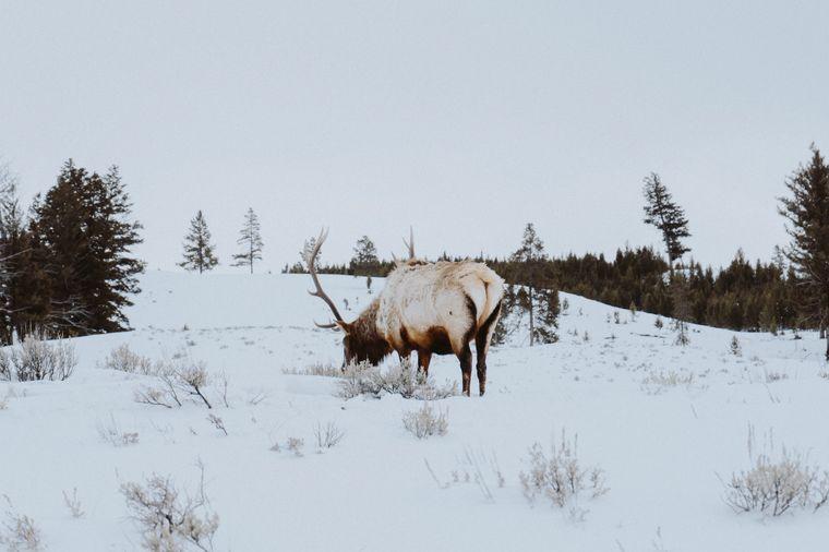Lass dir im Yellowstone-Nationalpark die frische, kalte Luft um die Nase wehen – während du Elche im Schnee beobachtest.