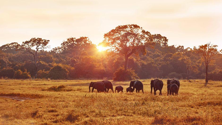 Elefanten stehen in einer Landschaft in Sri Lanka.