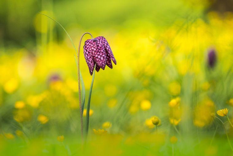 Die Schachbrettblume heißt mit Fachterminus Fritillaria meleagris.