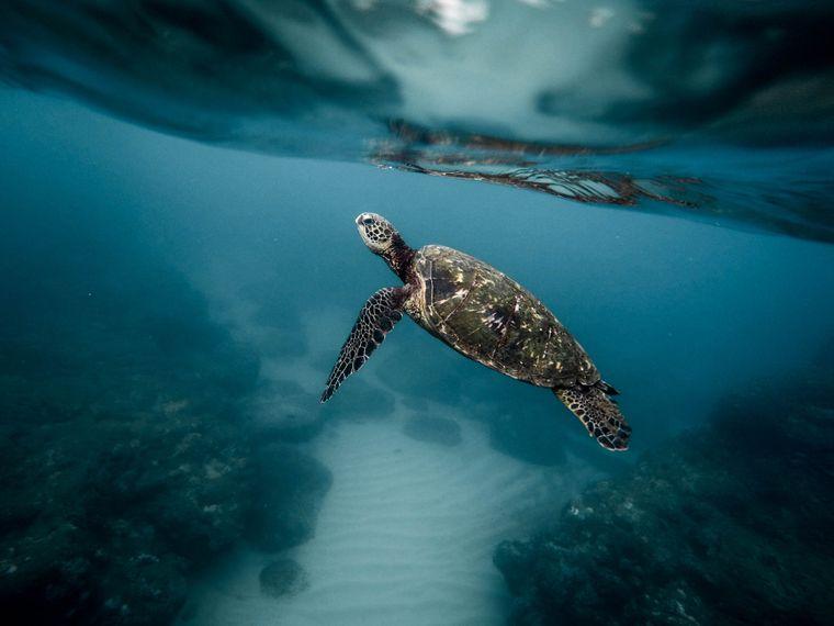 Riesenschildkröte im Meer.