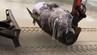 Der Wal-Kadaver wurde mit einem Bagger vom Strand entfernt.