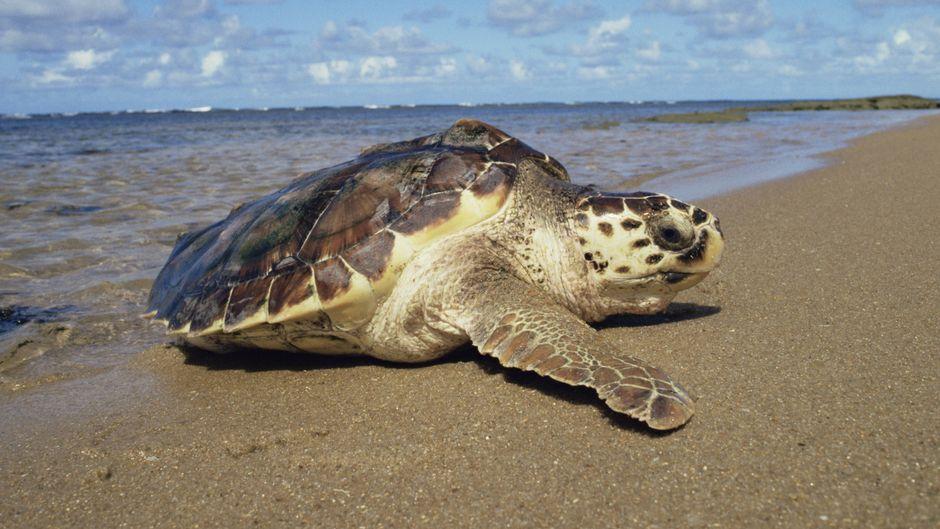 Unechte Karettschildkröten werden häufig Opfer der Kälte und stranden an der Küste von Massachusetts. (Symbolfoto)
