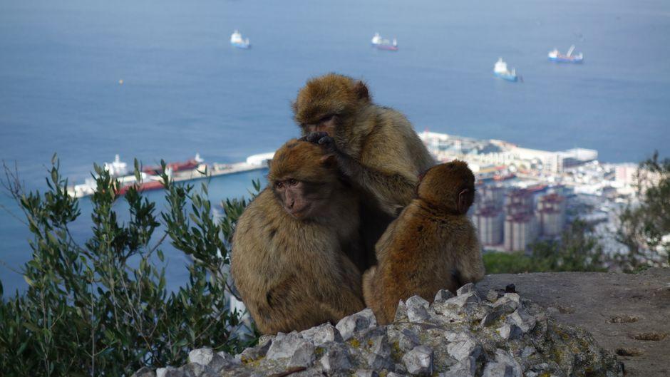 Sie haben hier das wahre Sagen: Die Berberaffen leben auf dem Fels von Gibraltar.