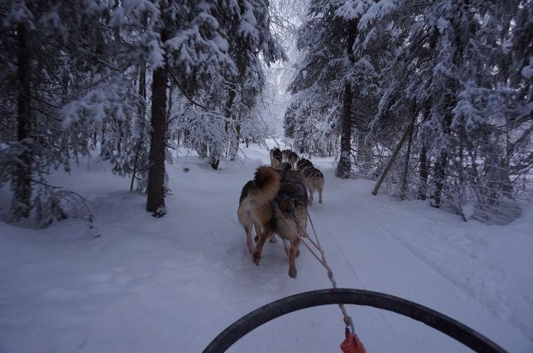 Schlittenhunde in Lappland.