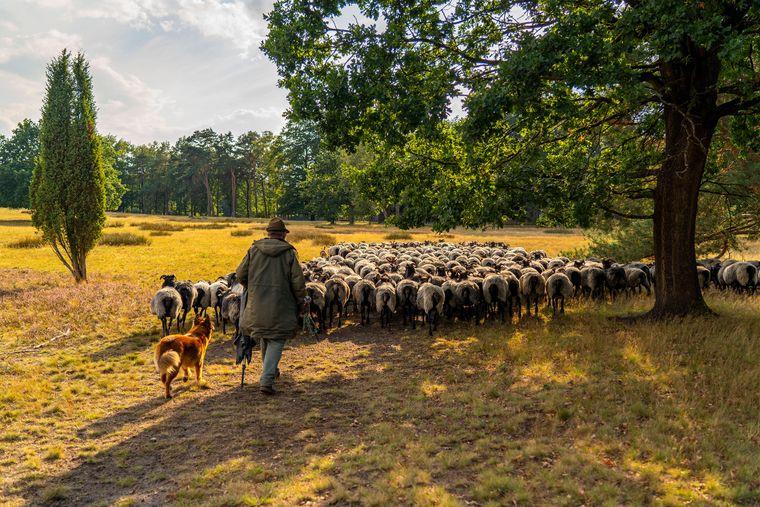 Auf dem Bauernhof Höpen kannst du dir die Heidschnucken beim Auftrieb live ansehen.