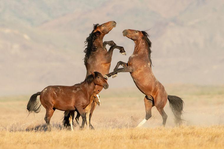 Wilde Pferde in Utah.