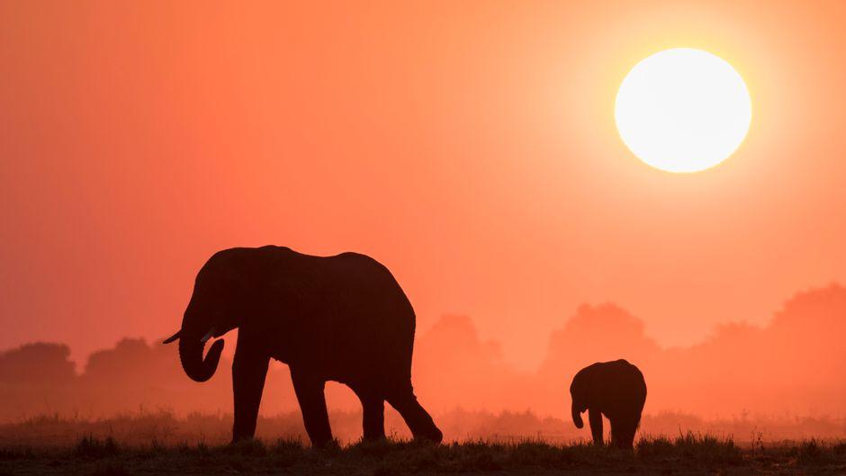Elefanten beim Sonnenuntergang im Chobe-Nationalpark in Botswana.