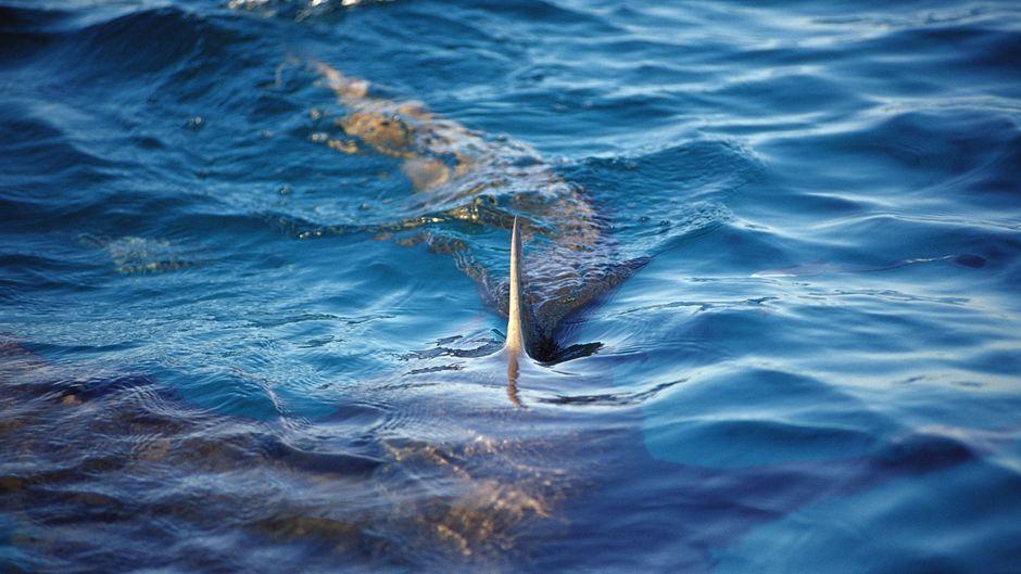 Zitronenhai an der Wasseroberfläche – wie groß ist die Gefahr eines Angriffs durch einen Hai wirklich?