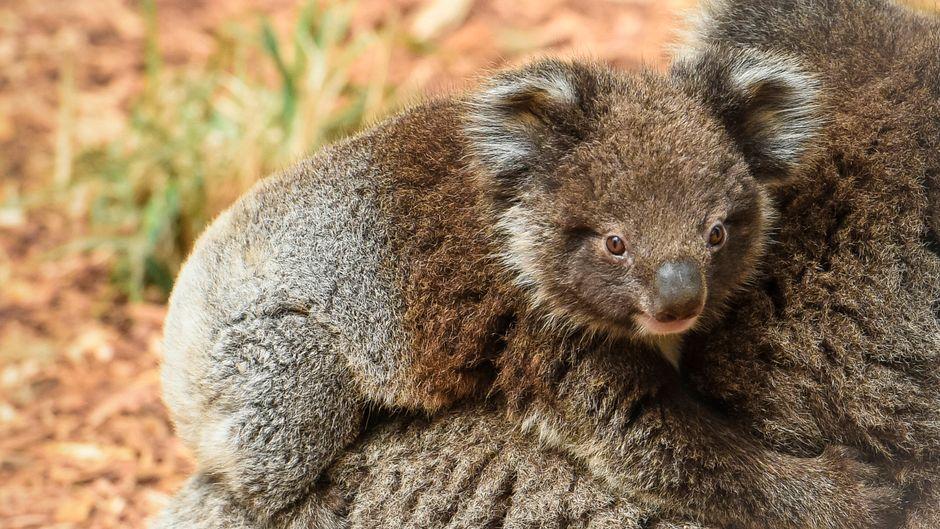 Junger Koala am Rücken seiner Mutter. (Symbolbild)