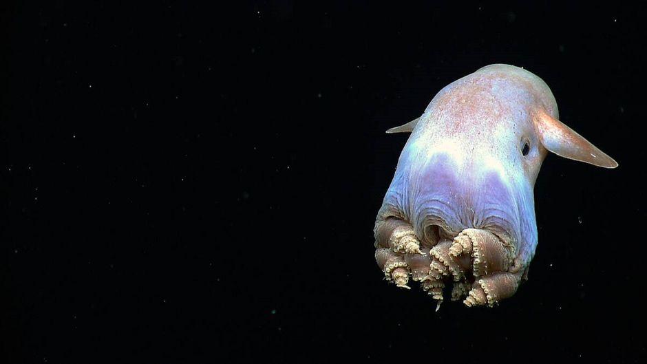 Die Flossen des Dumbo-Oktopus sehen aus wie riesige Ohren.
