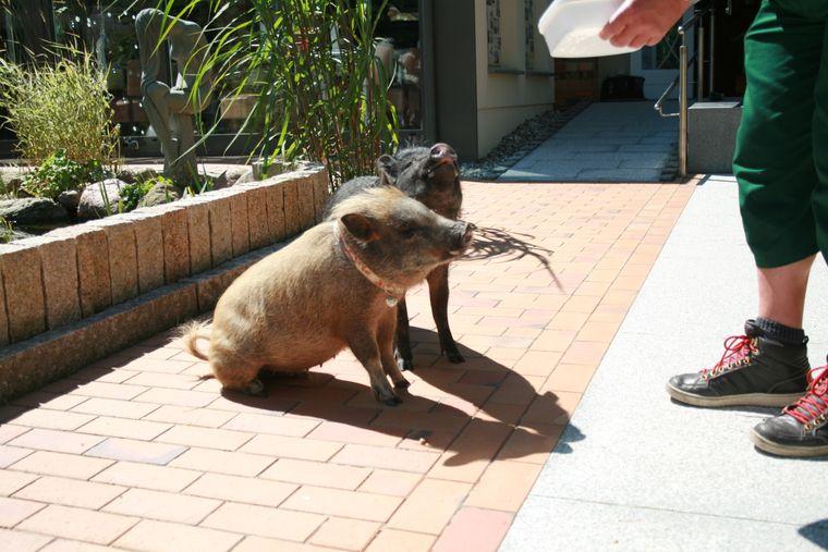 Die Mini-Schweine Lulu und Roy.