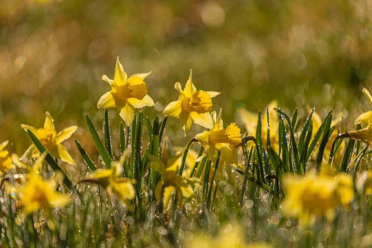 Die wilde gelbe Narzisse ist auch unter dem Namen Osterglocke bekannt.