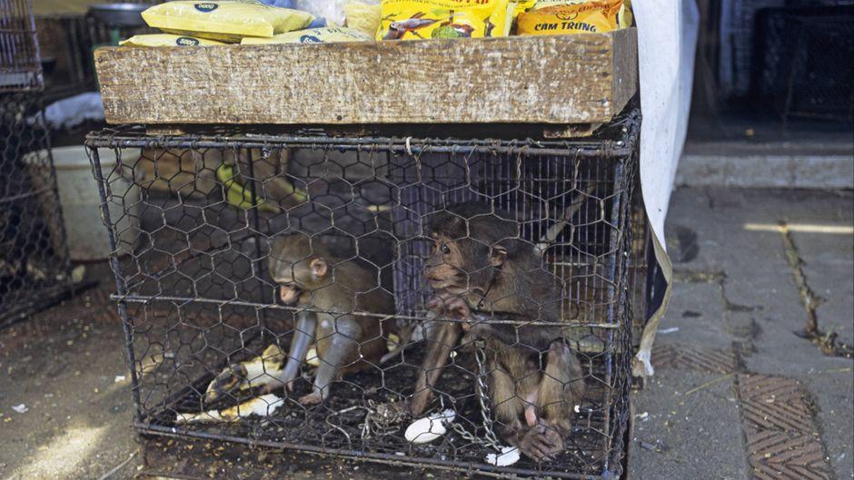 Junge Makaken, die auf einem Markt in Hanoi verkauft werden sollen.