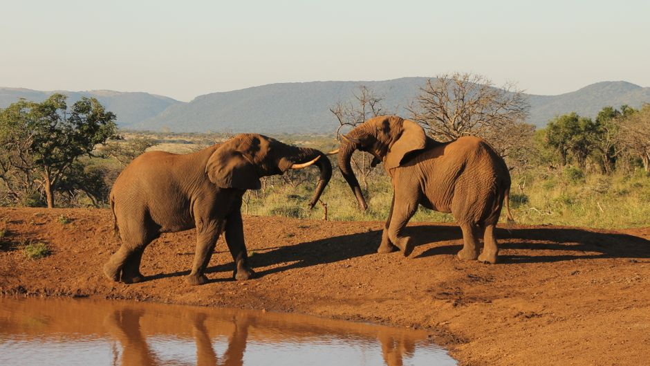 Zwei Elefanten rangeln am Wasserloch.