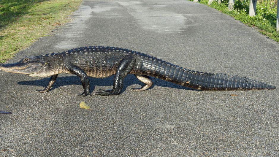 Bei einer solchen Begegnung wartet selbst ein Flugzeug, bis der Alligator vorbeigezogen ist.