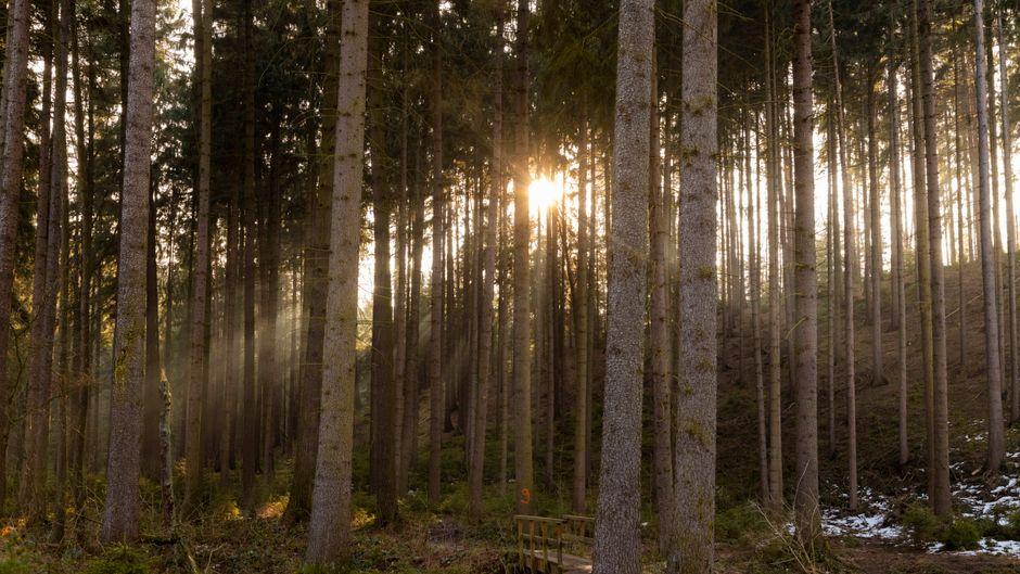 Die Sonne blitzt durch die Blätter der Baumkronen eines Waldes.