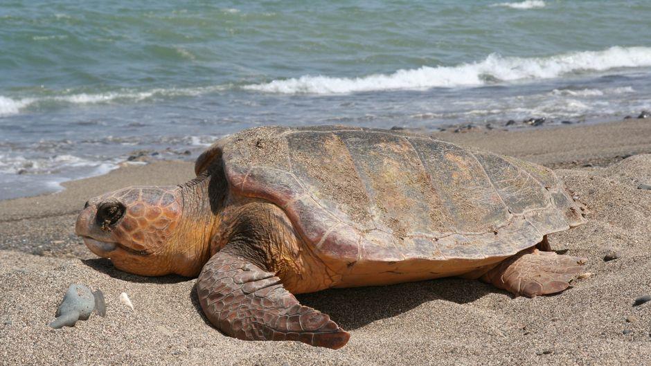 An Land etwas schwerfällig, im Wasser aber geübte Schwimmer: Unechte Karettschildkröten werden bis 1,10 Meter lang und 110 Kilogramm schwer. Sie stehen unter strengem Schutz.
