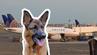 Schäferhund Irgo wurde von United Airlines versehentlich nach Japan geflogen.