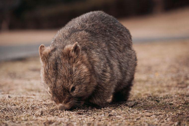 Auch Wombats sind gefährdet. In Greater Blue Mountains in New South Wales helfen Gäste des Wolgan Valley Resort dabei Sichtungen zu dokumentieren.