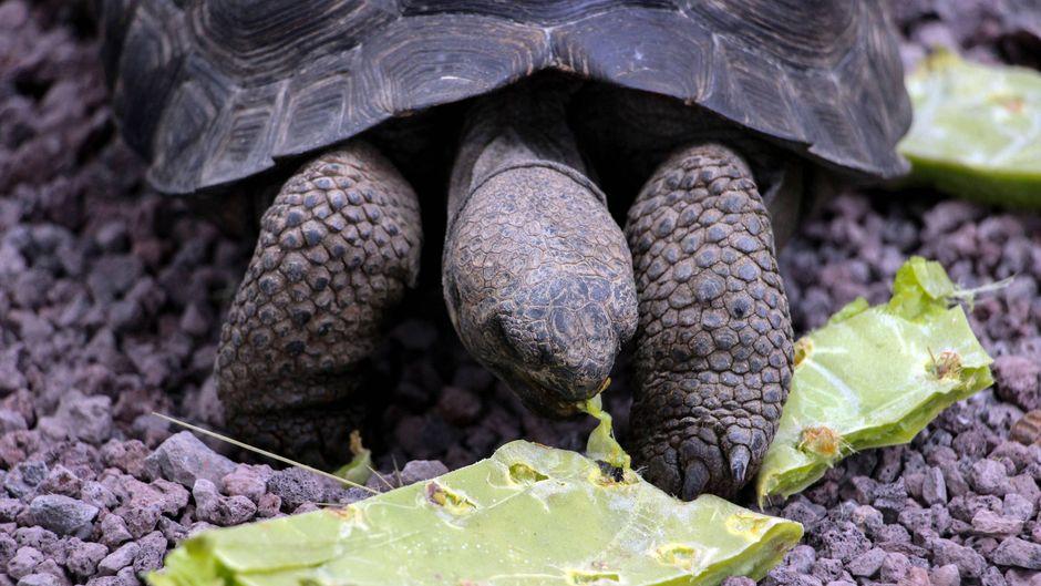 Eine Riesenschildkröte auf Baltra, einer der Galapagosinseln in Ecuador.