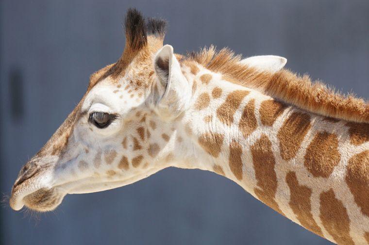Giraffen-Nachwuchs.