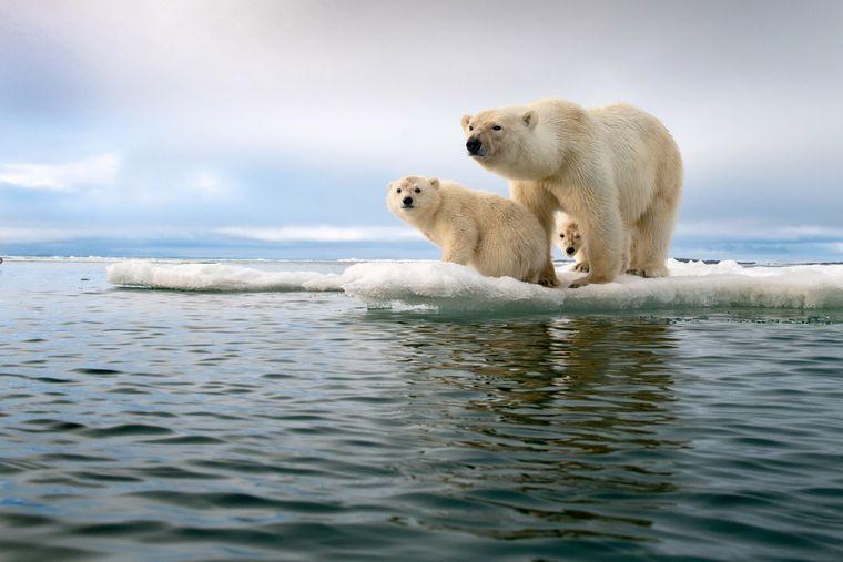 Eisbären auf einer Eisscholle in Spitzbergen, Norwegen.