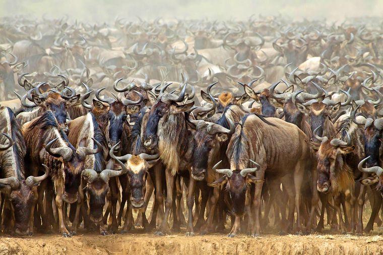 Die Gnus bei ihrer gigantischen Wanderung durch Tansania und Kenia.