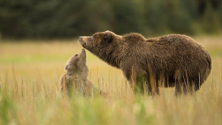 Braunbär mit Jungem im Lake Clark National Park, Alaska, USA.