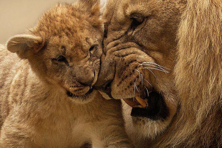 Löwe mit Nachwuchs.