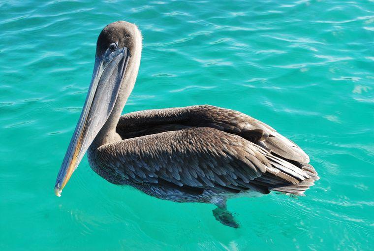 Pelikane siehst du zum Beispiel an der Tortuga Bay.