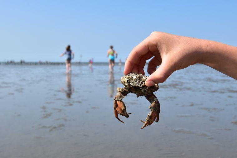 Ob du bei deiner Wanderung durchs Wattenmeer auch einige Meereskreaturen entdeckst? Wenn du nicht auf Schlickwaten stehst: Auch der Ausblick auf das Weltnaturerbe ist wunderschön.