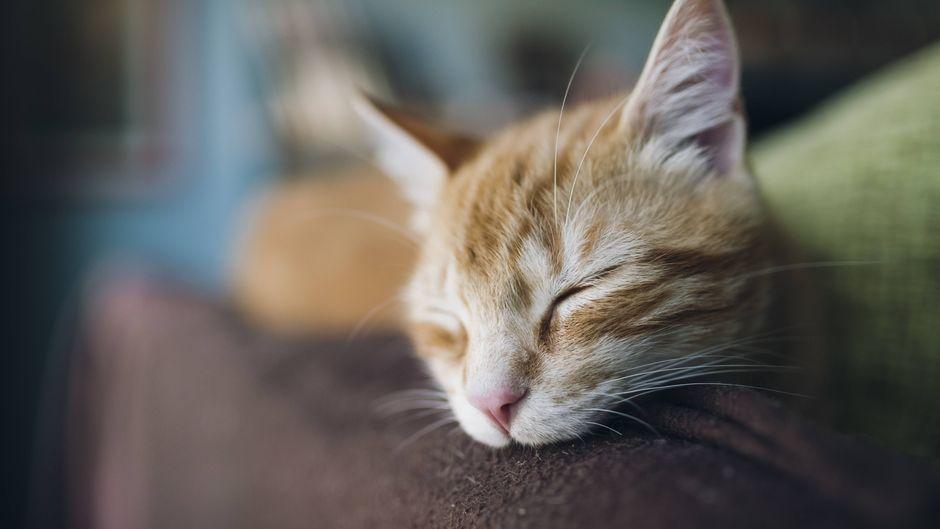 In Island wurde eine ins Land geschmuggelte Katze getötet. (Symbolfoto)