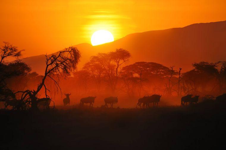 Wandernde Gnuherde im roten Licht des Sonnenaufgangs in der Serengeti in Tansania.