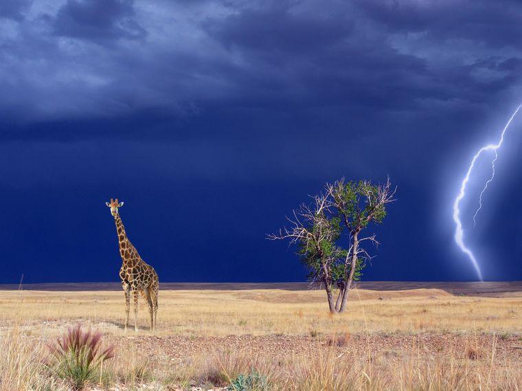 Giraffe in der Sawanne bei Gewitter.