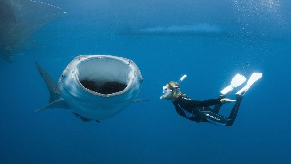Eine Schnorchlerin taucht mit einem Walhai, der das Maul aufreißt.