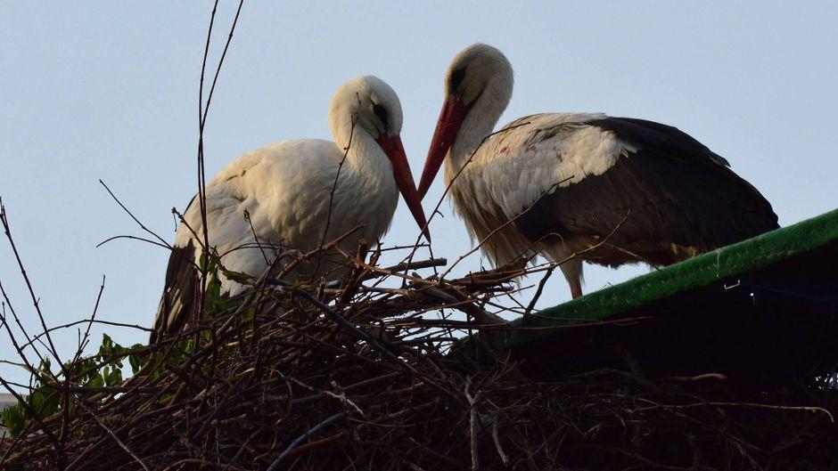Storch Klepetan und seine Malena in ihrem Nest.