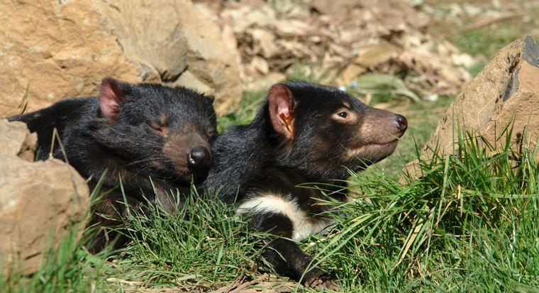 Ein recht großer, breiter Kopf und ein kurzer, dicker Schwanz sind die Markenzeichen des Tasmanischen Teufels. Das Fell des Tieres ist größtenteils schwarz. Es steht seit 1941 unter Schutz.