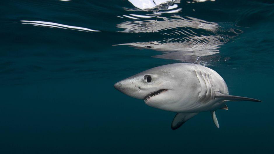 Ein Heringshai.