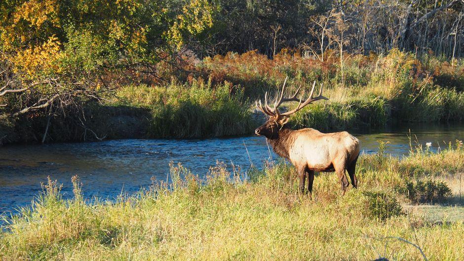 Elk Manitoba