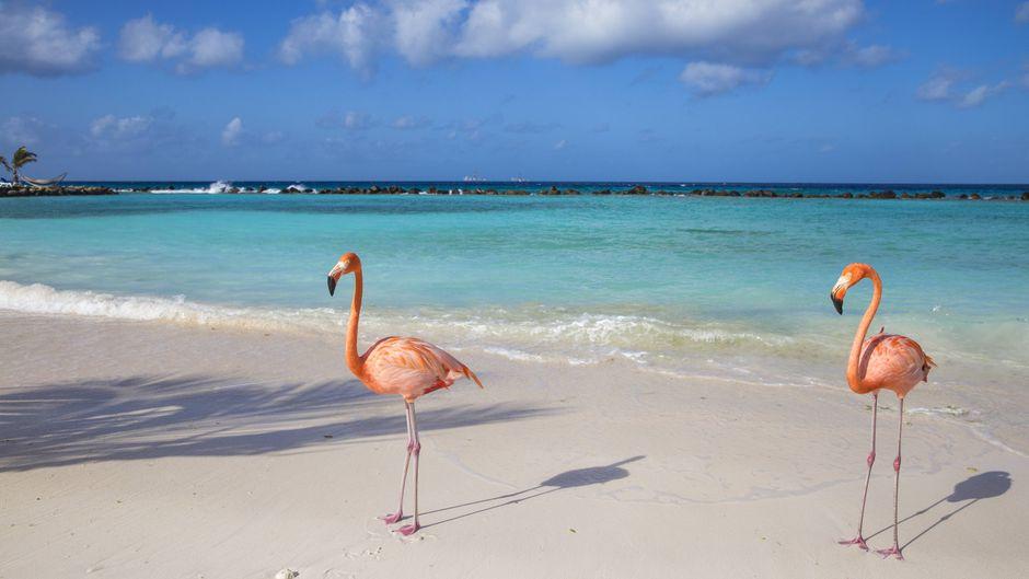 Zwei Flamingos am Flamingo Beach auf Renaissance Island vor Aruba.
