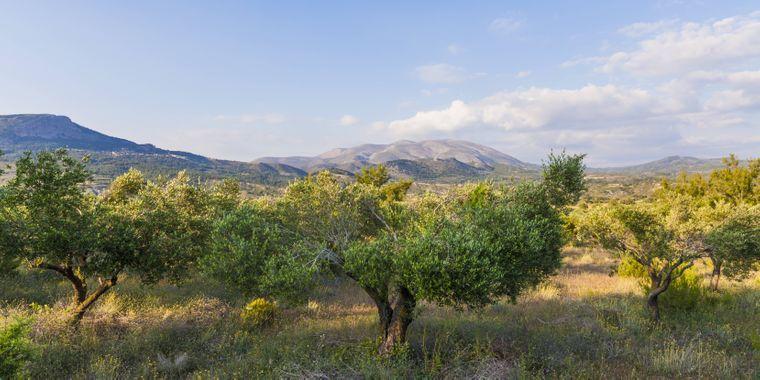 Die Koroneiki Olive ist die beliebteste Ölolive Griechenlands